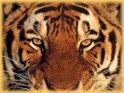 Blick eines Tigers